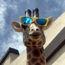 Pip the Giraffe